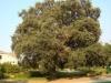 heritage_tree